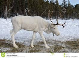white reindeer stock photo image 23795610