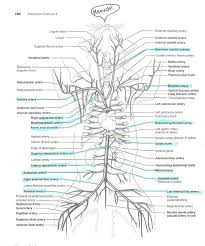 Anatomy And Physiology Muscle Labeling Exercises Anatomyforme Diagrams Of Feline Arterial And Venous Systems
