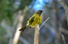 bellbird korimako new zealand native land birds