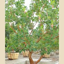 arbutus u0027marina u0027 drought resistant screen boething treeland