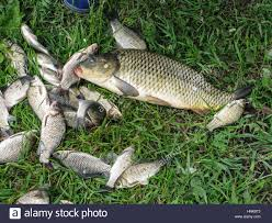 catch of fish on the green grass big carp and crucian stock photo