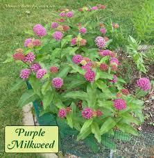 native plants ontario asclepias purpurascens purple milkweed for monarchs
