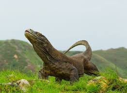 10 surprising facts komodo dragons mnn mother nature network