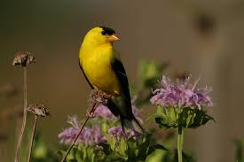 american goldfinch birds of the bog