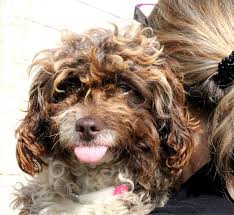 shih tzu with curly hair bonbon is a cockapoo shih tzu mix puppy she has wild curly hair