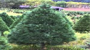 white pine trees for sale 1 89 at tn tree nursery