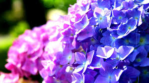 purple blue hydrangea flowers green perennials plants purple