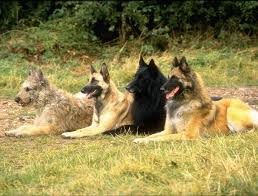 belgian sheepdog registry breeder trainer u0026 seller of world class pedigree belgian malinois