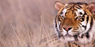 tiger teacher killed villagers mob tribes moved