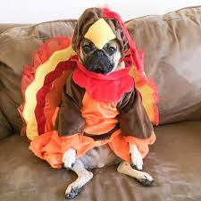 thanksgiving report doug the pug is ready for thanksgiving aww
