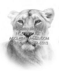 photo of a lioness with a pencil sketch effect