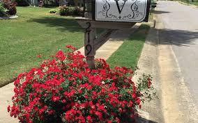 drift roses buy drift groundcover for sale online from wilson bros
