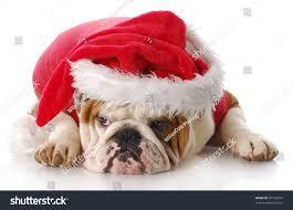 english bulldog sad expression dressed like stock photo 57728323