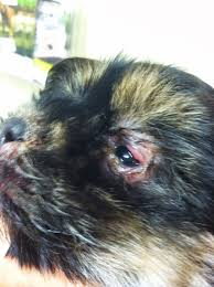affenpinscher skin problems diary of a real life veterinarian puppy strangles beau u0027s story