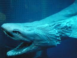 frilled shark wikipedia