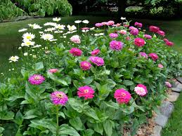 zinnia flower benary zinnia best flower a must for cutting gardens