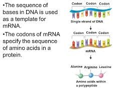 10 2 rna and 10 3 protein synthesis ppt video online download