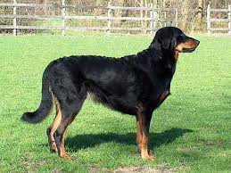 dogs with curly hair and floppy ears beauceron jpg