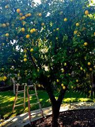backyard garden with lemon fruit trees time to pruning fruit