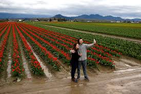 Tulip Festival Map Tulips To Bloom A Bit Late For Skagit Valley Festival Heraldnet Com