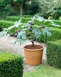 Low Light Indoor Trees Best 25 Fig Tree Ideas On Pinterest Indoor Trees Indoor Tree