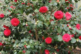 camellia flowers camellia japonica καμελια horomidis agronomic corp