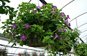 Flowers For Morning Sun - top 5 hanging baskets for shade fairview garden center