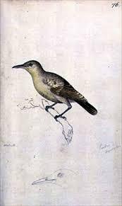 Moorea reed warbler
