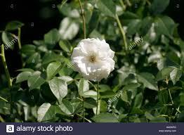 white rose in raleigh north carolina rose garden stock photo