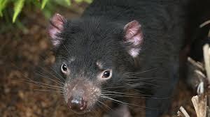 tasmanian devil san diego zoo animals u0026 plants