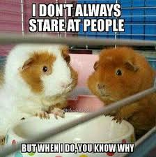 Guinea Pig Meme - guinea pig nation home facebook