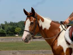 paint horses for sale in pennsylvania