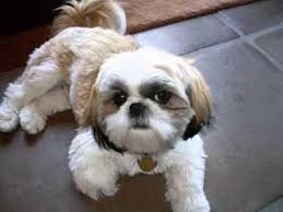 how to cut a shichon s hair shih tzu hair cuts youtube