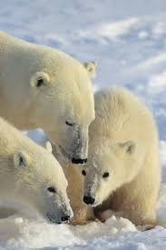 ancestry of polar bears traced to ireland u2014 eberly college of science