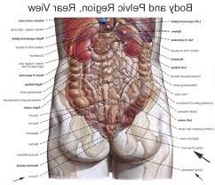 Pictures Of Human Anatomy Organs Anatomical Picture Of Human Body Organs Human Anatomy Body