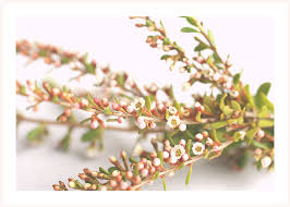 filler flowers bouquet filler flowers tea tree flowers are tiny white an flickr