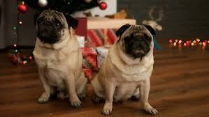 Dogs Decorating Christmas Tree Video by A Cute Pug Dog In A Red Christmas Cape Or Cloak Sits In Front Of A