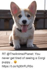 Corgi Puppy Meme - rt you never get tired of seeing a corgi puppy
