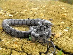 european cat snake wikipedia