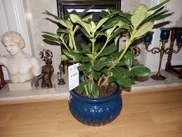 a plant to last i bought this rhododendron in tesco for my