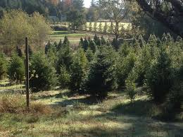 christmas trees xmas sebastopol san francisco