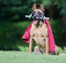 should i get a belgian tervuren belgian malinois dog complete breed profile