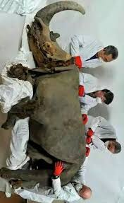 wooly mammoth carcass siberia reveals information ice
