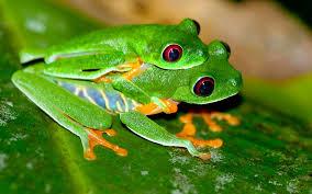 eyed tree frog in australia