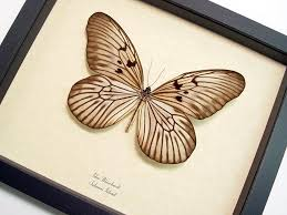 idea blanchardi framed butterflies and insects wholesale