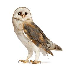 What Does A Barn Owl Look Like Why An Owl My English
