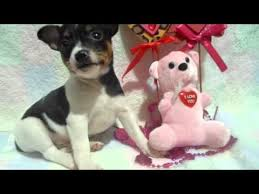 american pitbull terrier puppies for sale uk rat terrier puppies for sale from reputable dog breeders