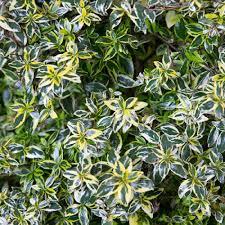 southern living plant collection 2 5 qt miss lemon abelia with