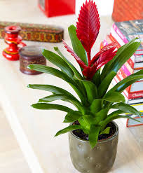 buy house plants now vriesea u0027porto u0027 bakker com