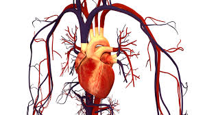 Human Body Picture Overview Of The Circulatory System Boundless Biology